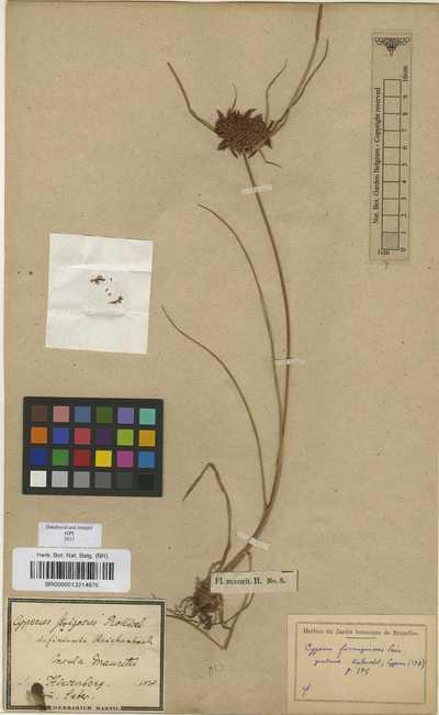 Pycreus intactus (Vahl) J.Raynal