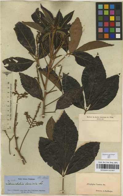 Allophylus cominia (L.) Sw.