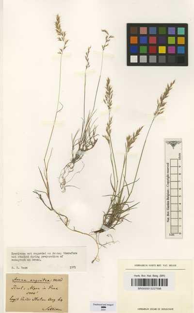 Trisetum argenteum (Willd.) Roem. & Schult.