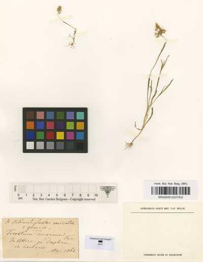 Trisetum aureum (Ten.) Ten.