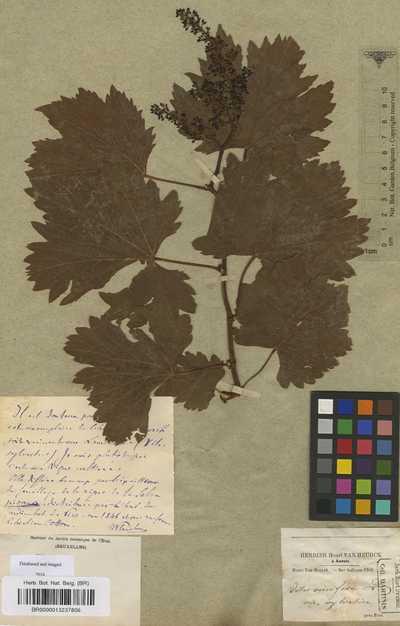 Vitis vinifera L. subsp. sylvestris (C.C.Gmel.) Hegi