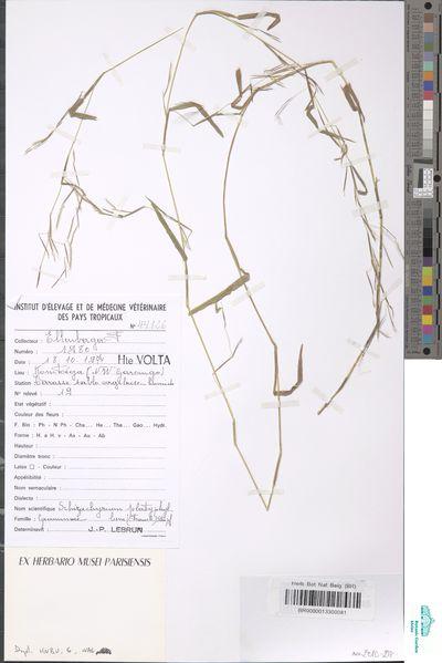 Schizachyrium platyphyllum (Franch.) Stapf