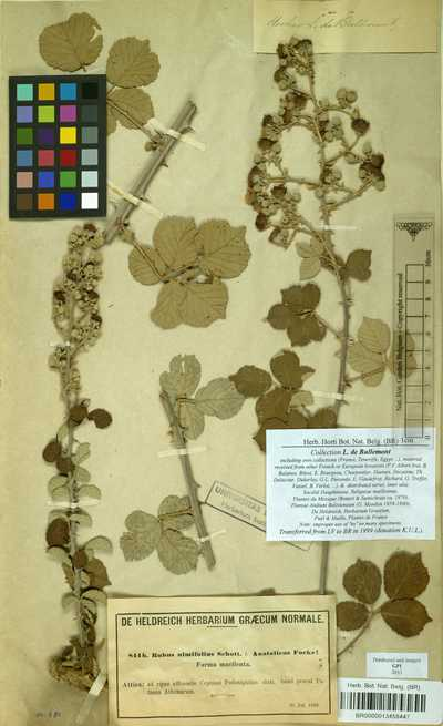 Rubus sanctus Schreber