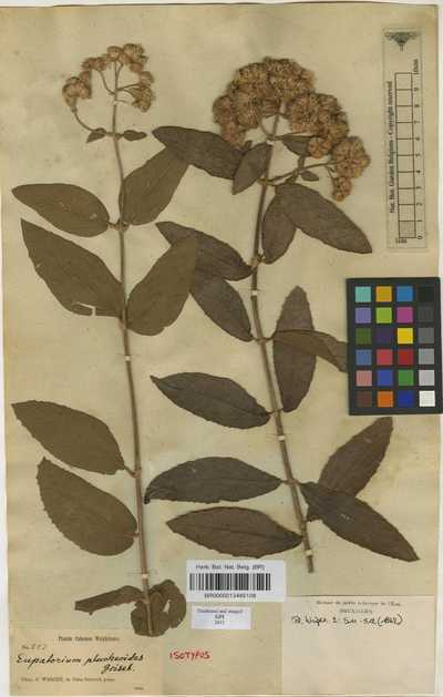 Grisebachianthus plucheoides (Griseb.) R.M.King & H.Rob.