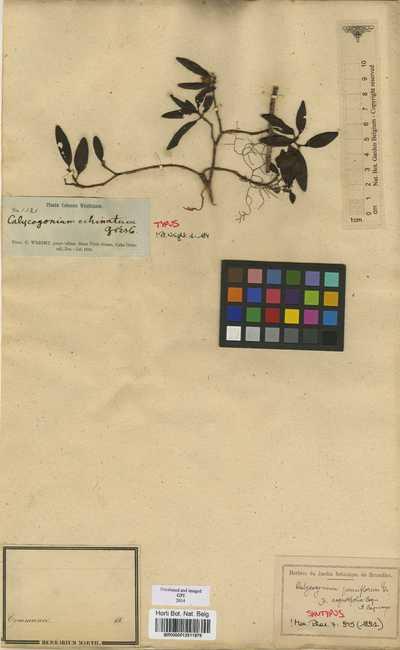 Calycogonium pauciflorum Triana var. angustifolium DC.