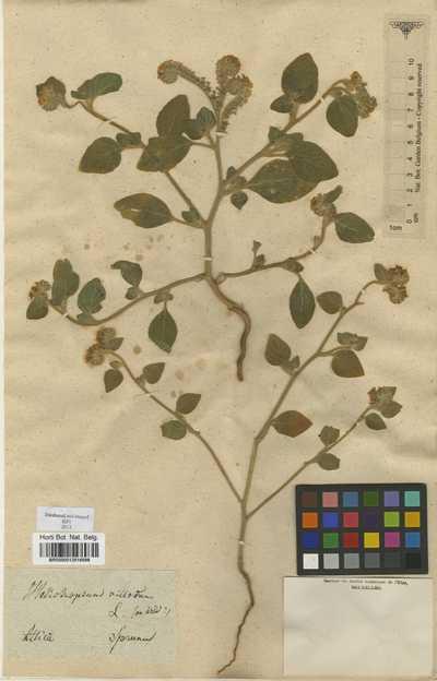 Heliotropium hirsutissimum Grauer