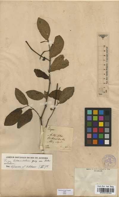 Piper tuberculatum Jacq.