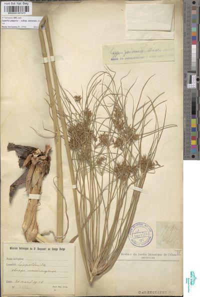 Cyperus papyrus L. subsp. zairensis (Chiov.) Kük.