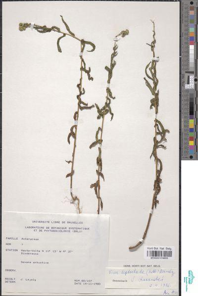 Pentanema indicum (L.) Y.Ling