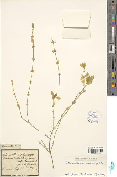 Alternanthera sessilis (L.) R.Br. ex DC.