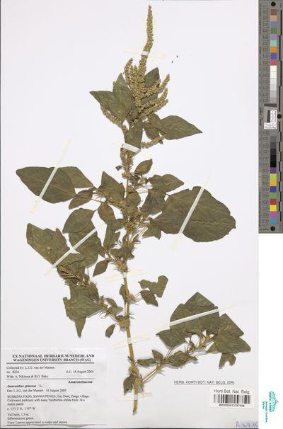 Amaranthus spinosus L.