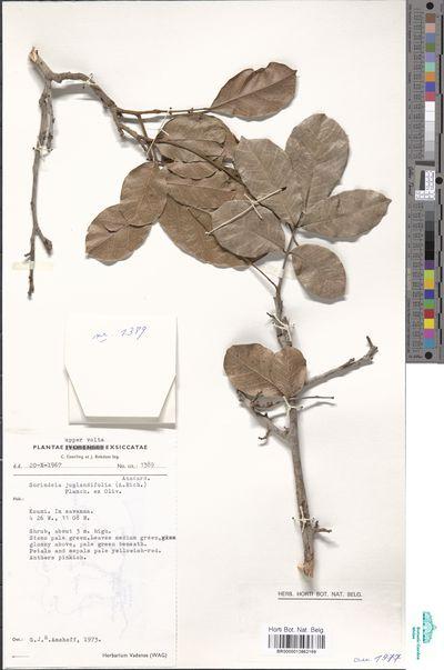 Sorindeia juglandifolia (A.Rich.) Planch. ex Oliv.