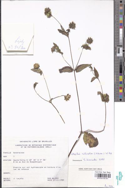Aspilia ciliata (Schumach.) Wild