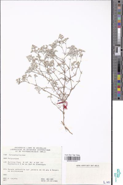Polycarpaea sp.