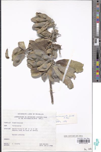 Terminalia avicennioides Guill. & Perr.