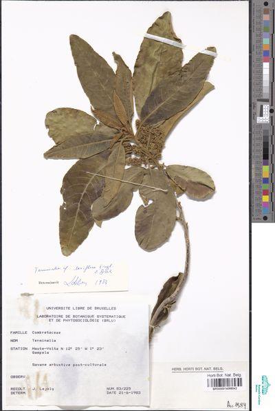 Terminalia laxiflora Engl.