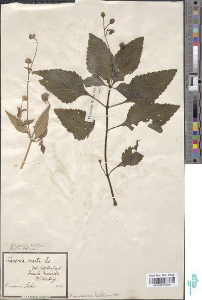 Adenostemma latifolium D.Don