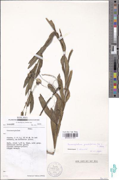 Crassocephalum picridifolium (DC.) S.Moore