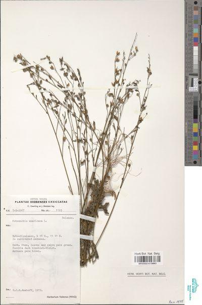 Schwenkia americana Kunth