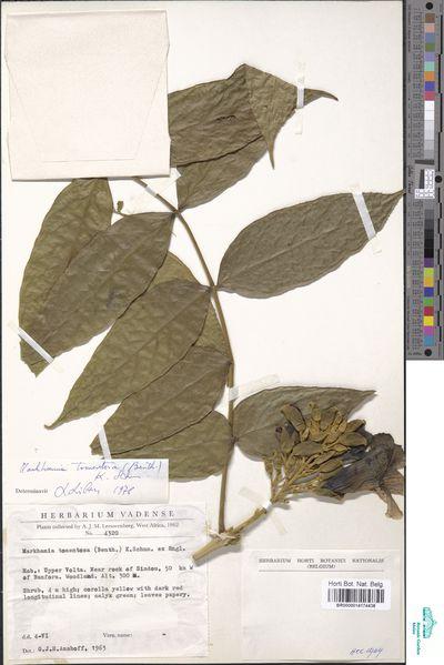 Markhamia tomentosa (Benth.) K.Schum. ex Engl.