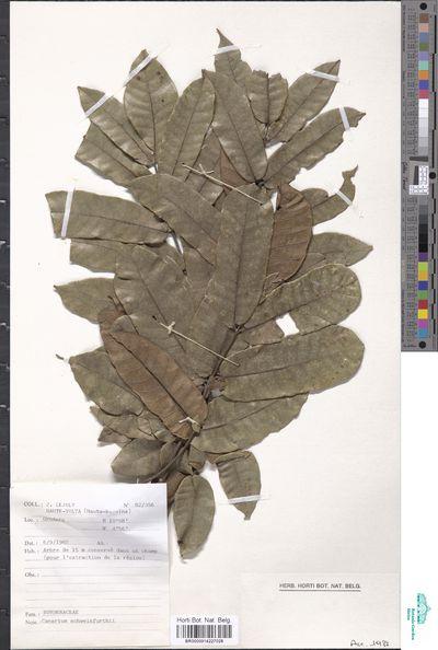 Canarium madagascariense Engl. subsp. obtusifolium (Scott-Elliot) Leenh.