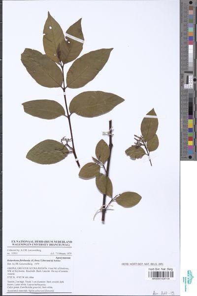Holarrhena floribunda (G.Don) T.Durand & Schinz var. tomentella H.Huber