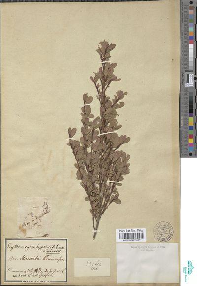 Erythroxylum hypericifolium Lam.
