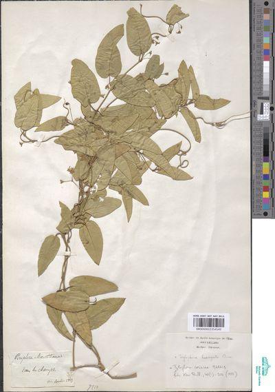 Tylophora cordata (Thunb.) Druce