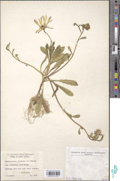 Dimorphotheca pluvialis (L.) Moench