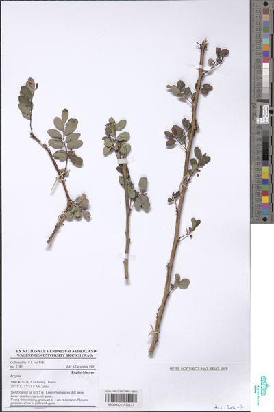 Breynia sp.