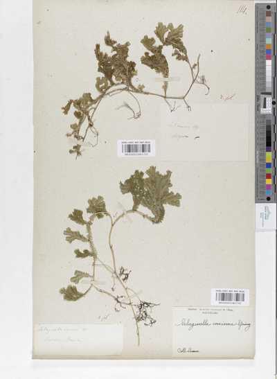 Selaginella concinna (Sw.) Spring