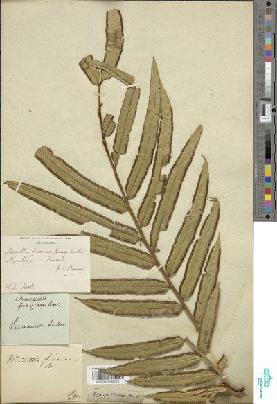 Marattia fraxinea Sm.
