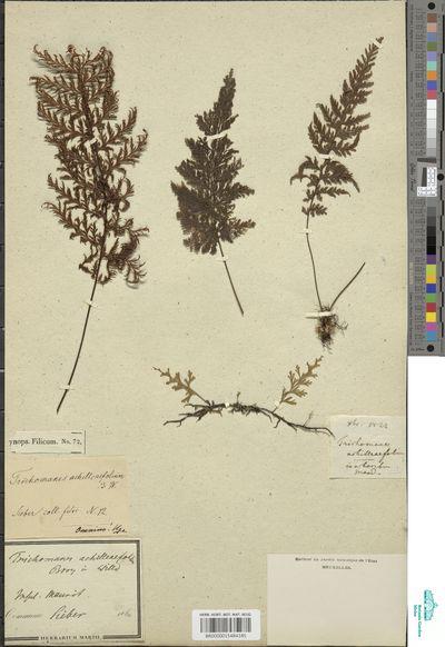 Abrodictyum stylosum (Poir.) J.P.Roux