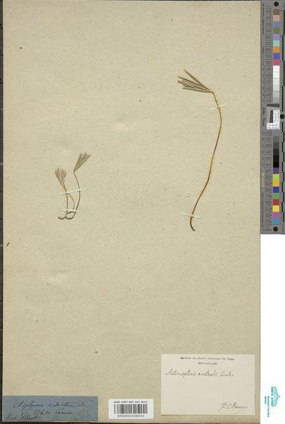 Actiniopteris australis (L.f.) Link