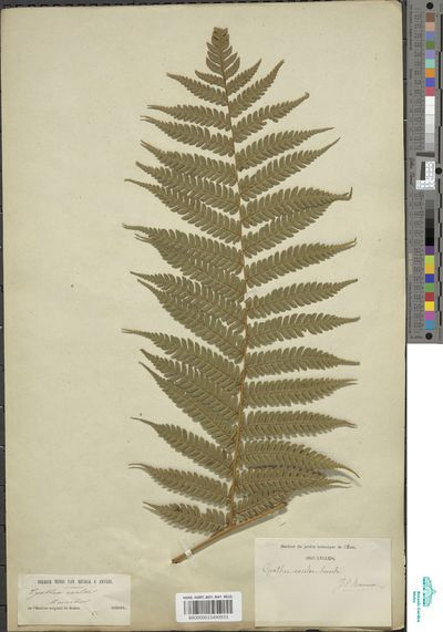 Alsophila celsa R.M.Tryon