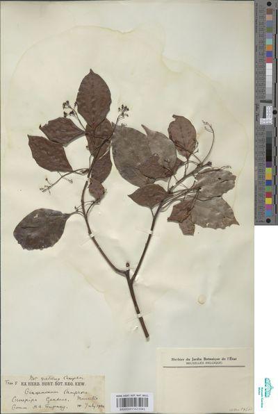 Cinnamomum camphora (L.) Nees & Eberm.