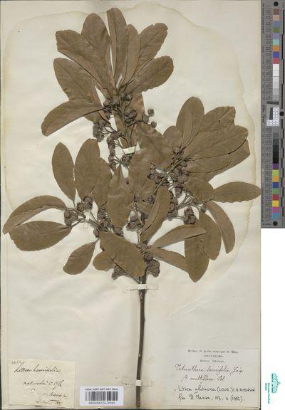Litsea glutinosa (Lour.) C.B.Rob.