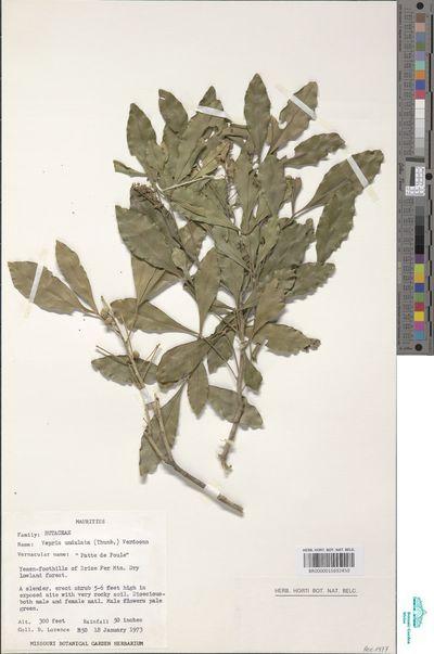 Vepris lanceolata (Lam.) G.Don