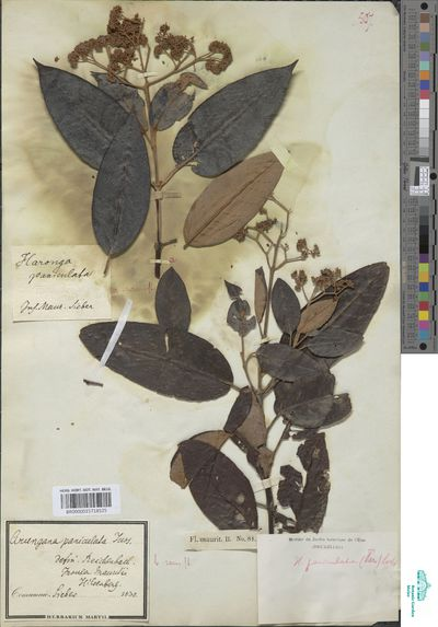 Harungana madagascariensis Lam. ex Poir.