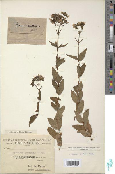 Hypericum annulatum Moris