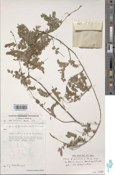 Abrus melanospermus Hassk. subsp. suffruticosus (Boutique) D.K.Harder