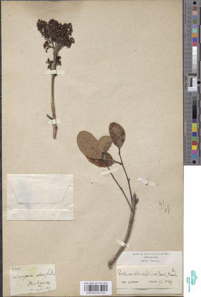 Protium obtusifolium Marchand
