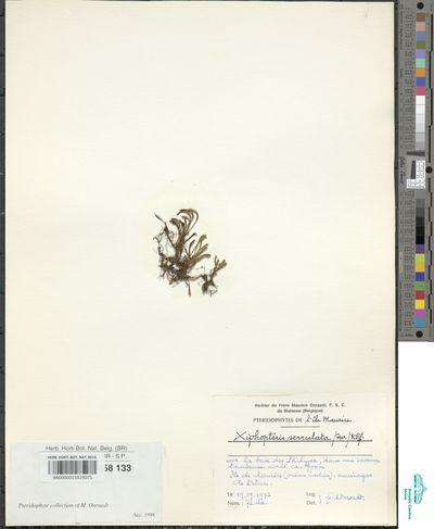 Cochlidium serrulatum (Sw.) L.E.Bishop