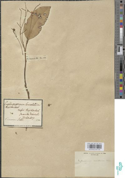 Erythrospermum lanceolatum Bojer