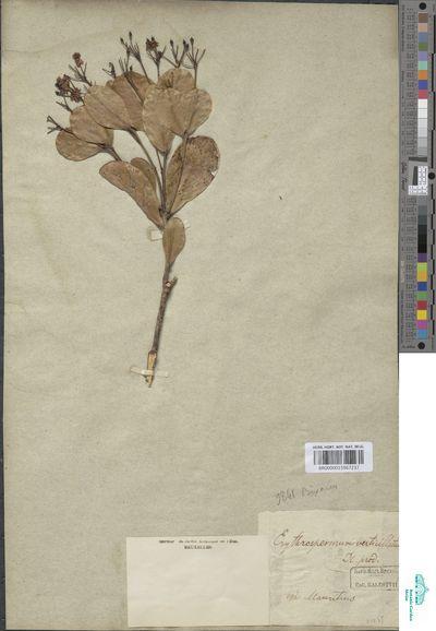 Erythrospermum verticillatum Lam. ex Poir.