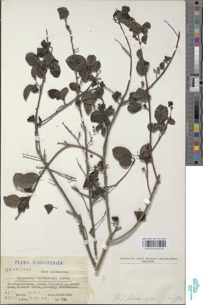 Flacourtia indica (Burm.f.) Merr.