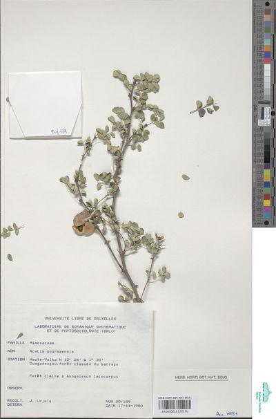 Acacia goetzei Harms subsp. microphylla Brenan