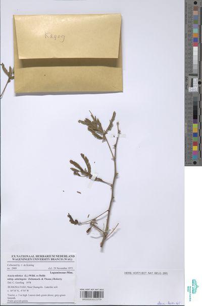 Acacia nilotica (L.) Willd. ex Delile subsp. adstringens (Schumach. & Thonn.) Roberty