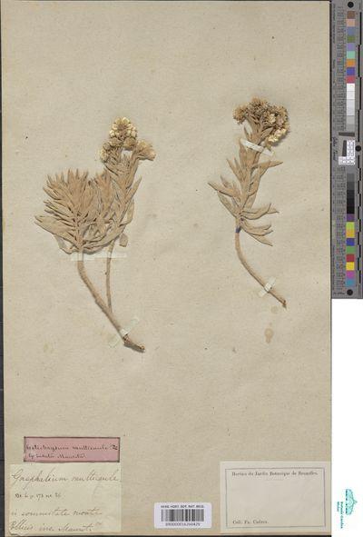 Helichrysum multicaule DC.
