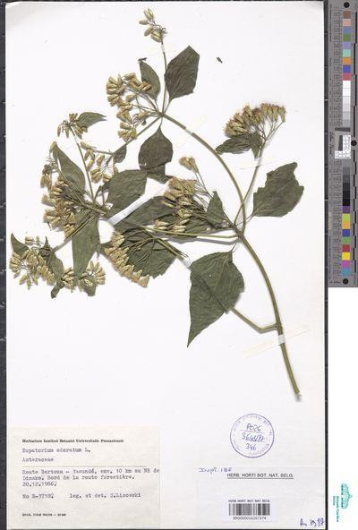 Chromolaena odorata (L.) R.M.King & H.Rob.